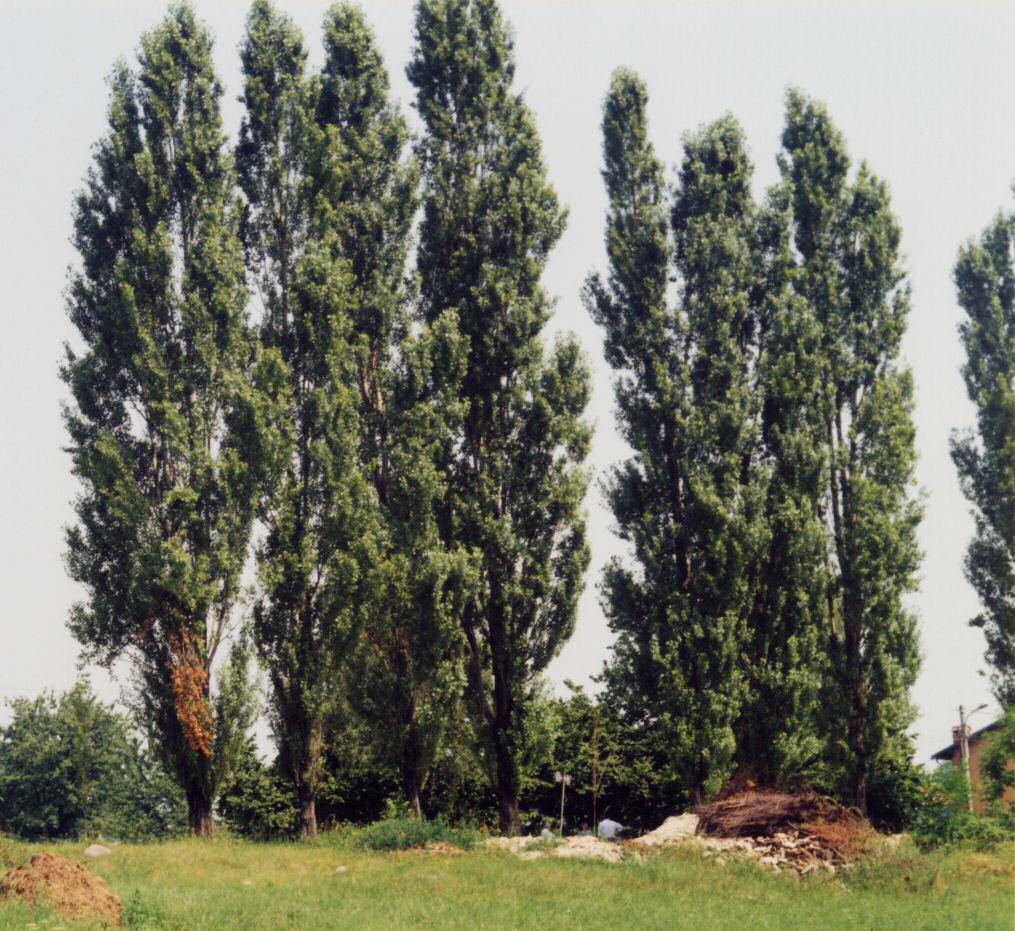 Il pioppo scrivere al tempo di internet for Nomi di alberi sempreverdi